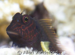 Springer's Blenny.  Image taken in four feet of water and... by Allan Vandeford